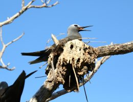 One of many Noddy Terns that nest at One Tree Island during summer
