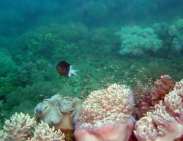 Spiny Chromis (Acanthochromis polyacanthus) with brood in soft coral habitat