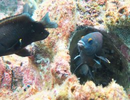 One of our targeted damselfish, Stegastes beebei, from the Galapagos